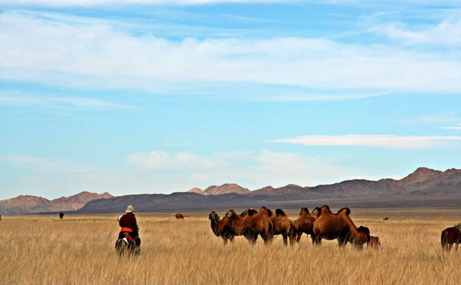 Weidende Kamele Mongolei