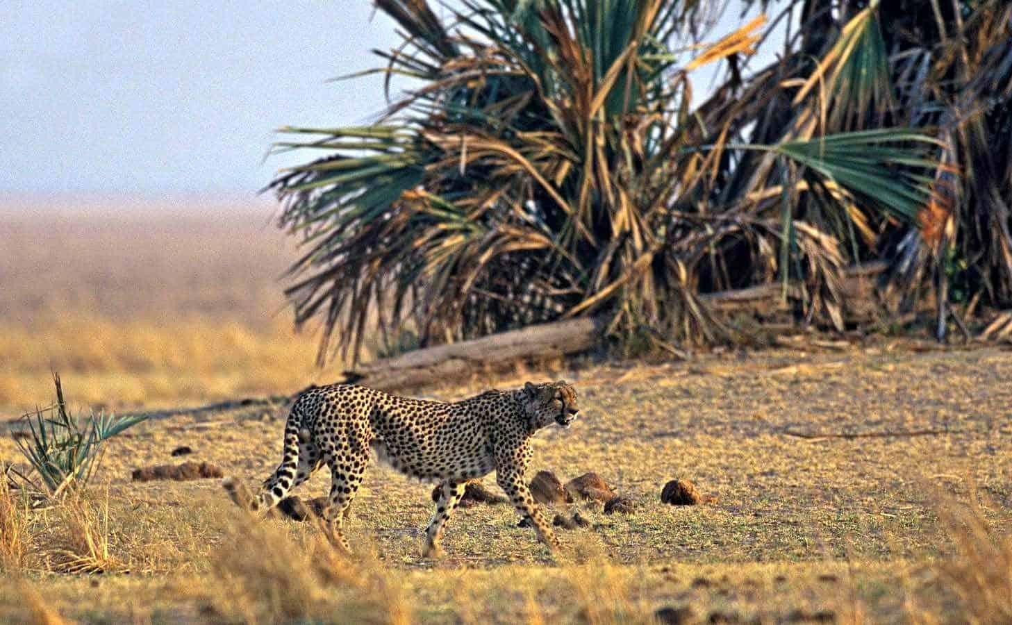 Gepard im Katavi Nationalpark © Nomad Tanzania