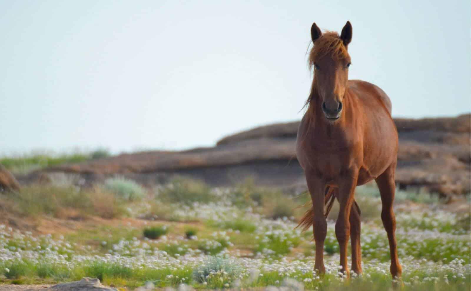 Pferd Mongolei