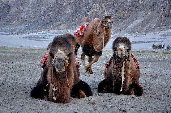 Nordindien-Kamele-in-Hunder-Nubra-Tal