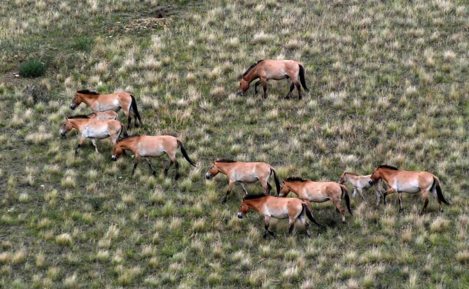 Pferde Mongolei