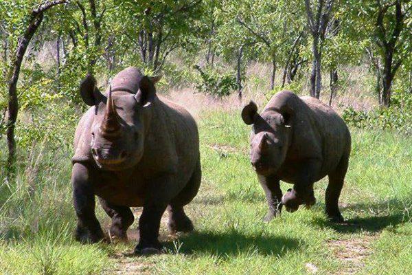 Reisetipp-Glamping-in-Tansania-The-Retreat-Selous-Game-Reserve-nashörner