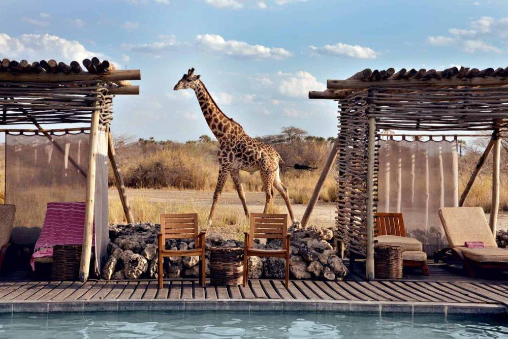 tansania_chem-chem-loge-giraffe