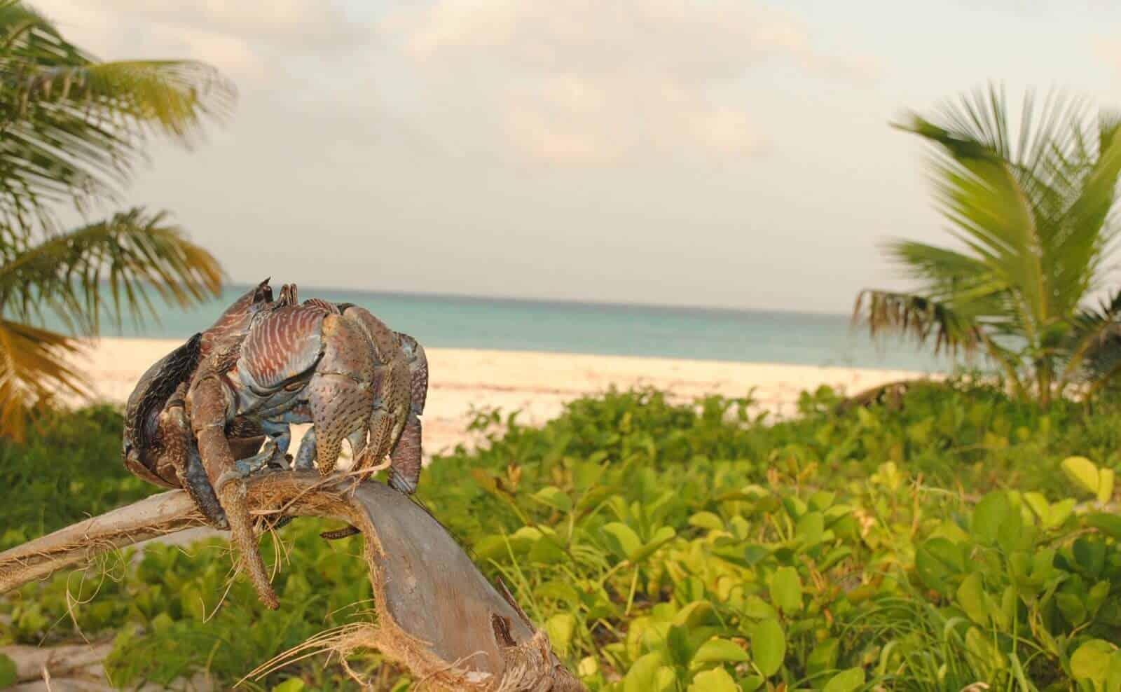 Krabbe auf Fanjove