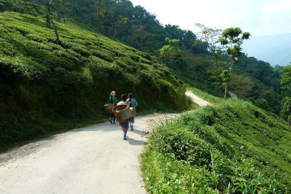 Indien_Sikkim_WegzurTeeernte