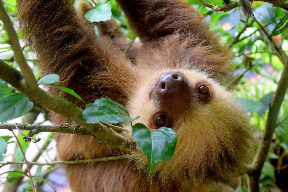 costa rica_sloth-1879999_1920