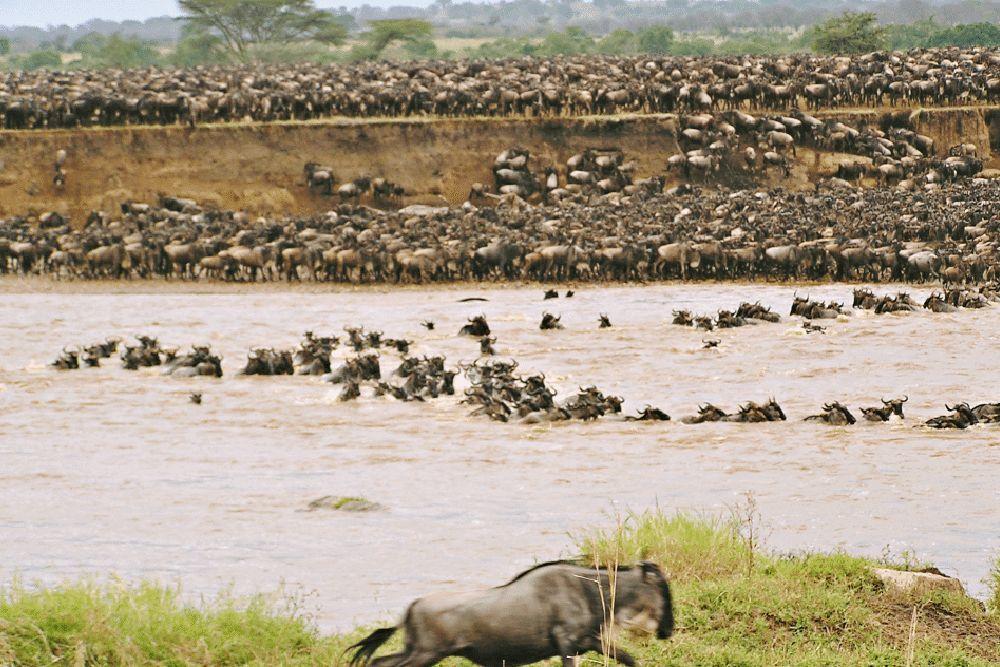 tansania_safari_gnus_migration_serengeti