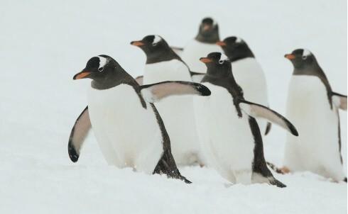 Pinguine_Antarktis