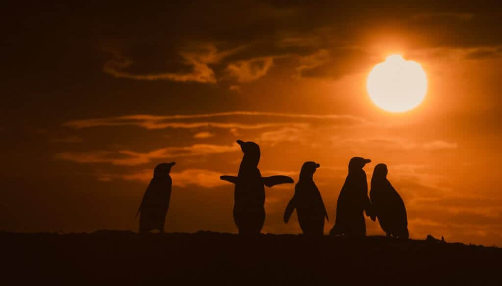 pinguine sonnenuntergang